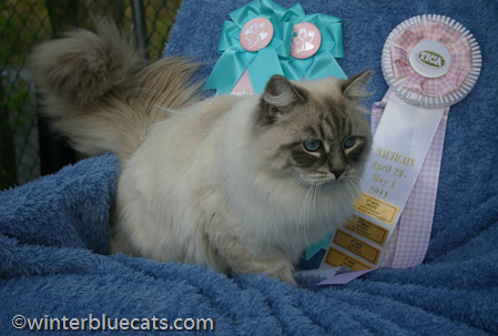 Winterblue Cattery Siberian Kittens For Sale In Ct Ny