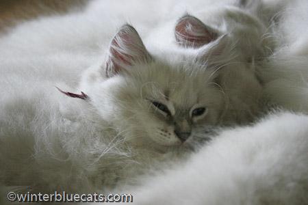 silver cat names