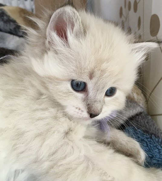 WinterBlue Cattery - Siberian kittens for sale in CT, NY, NJ