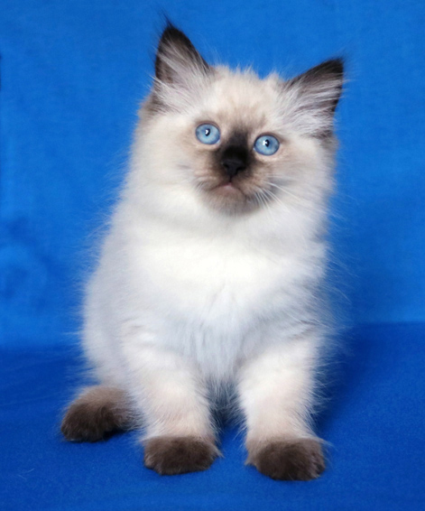 Winterblue Cattery Siberian Kittens For Sale In Ct Ny Nj